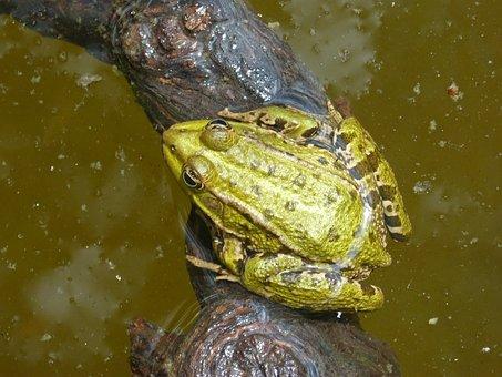 Frog, Batrachian, Pond, Float, Green Frog, Wood