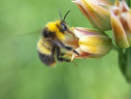 Bee, Nectar, Insect, Flower, Garden