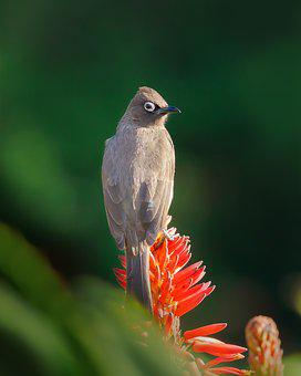 Cape Bulbul, Bird, Nature, Animal, Wildlife, Beak, Wild