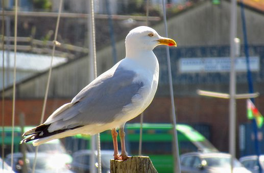 Seagull, Wales, Bird, Water, Coast, Gull, Britain