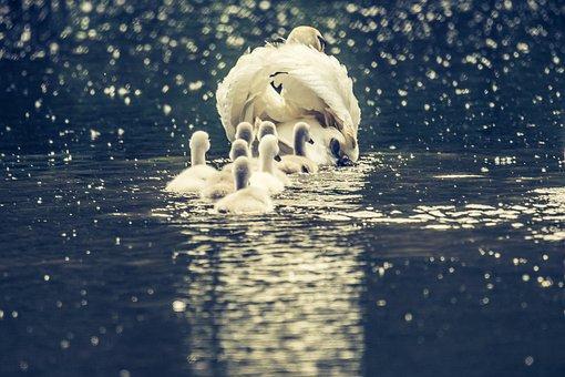 Swan, Swans, White Swan, Bird, Animal