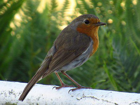 Robin, Bird, Wales, Wildlife, Birdwatching, Portrait
