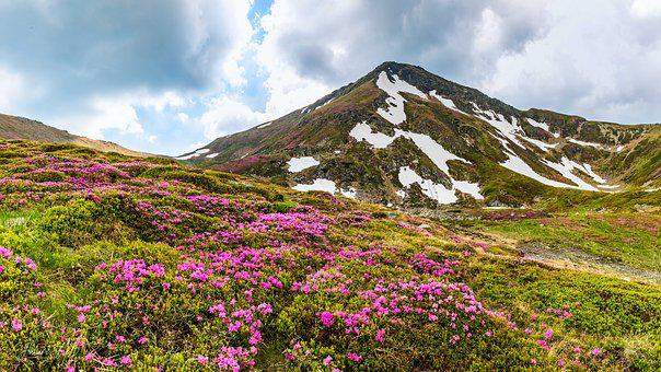 Rhododendron, Rumania, Flower, Bloom, Summer Plants