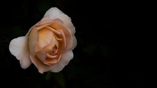 Rose, Flower, Pink, Blossom, Bloom, Nature, Rose Blooms