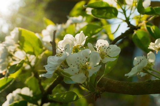 Pear Blossom, Evening Light, Blossom, Bloom, Spring
