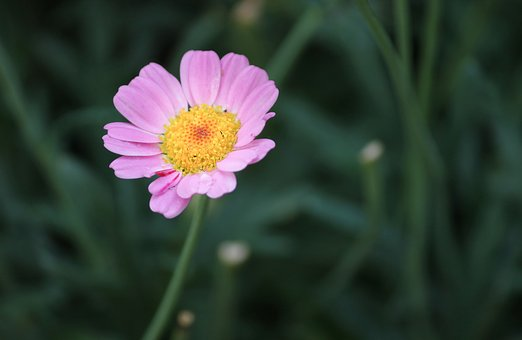 Marguerite, Pink, Individually, Blossom, Bloom, Flower
