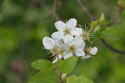 Blossom, Bloom, Plant, White, Macro, Garden, Summer
