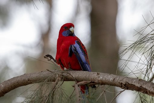 Rosella, Bird, Wild, Parrot, Colorful, Nature, Blue
