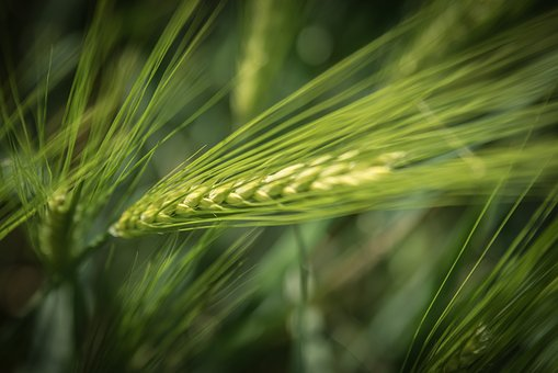 Barley, Agriculture, Cereals, Barley Field, Cornfield