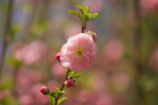 Cherry Blossom, Flower, Cherry Blossoms, Cherry, Spring