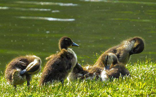 Nature, Animal World, Bird, Duck, Chicks, Ducklings