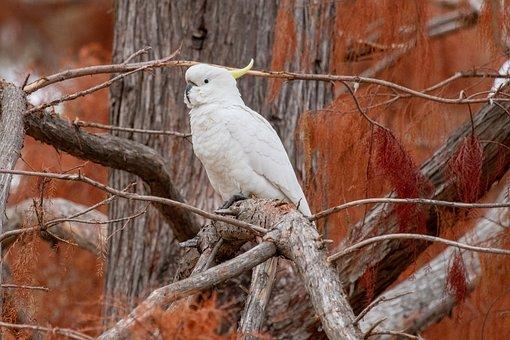 Cockatoo, Bird, Wild, Animal, Australian, Autumn