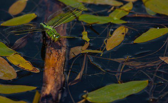 Dragonfly, Emperor, Insect, Wildlife, Odonata, Nature