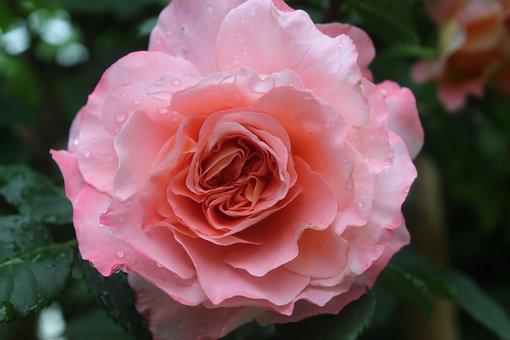 Pink Rose, Tropical Rain, Wet Rose, Filled Rose