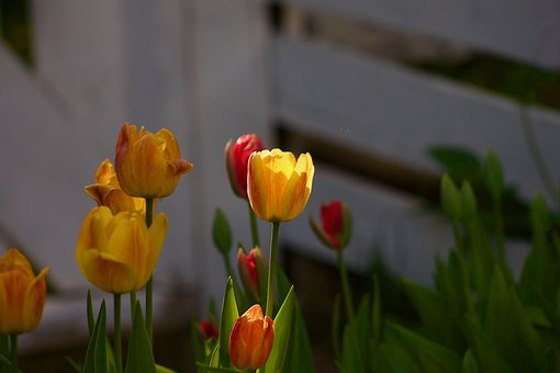 Tulip, Tulips, Flower, Spring, Nature, Bloom, Blossom