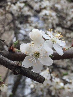 Apple Flower, Flower, Flowers, Tree, Garden, Nature