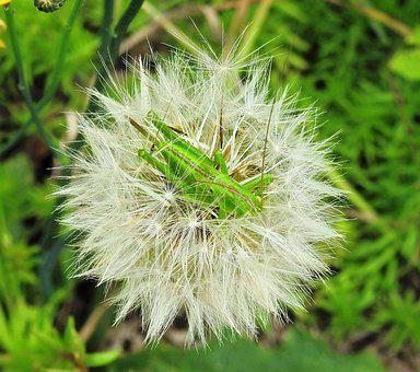 Insect, Grasshopper, Green, Animal, Flower, Dandelion