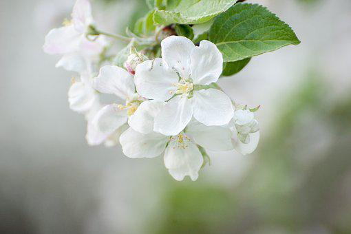 Spring, White Flowers, May, Bloom, Flower, Flowers