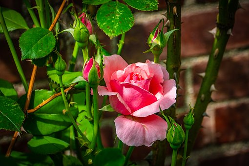 Rose, Pink, Flower, Thorn, Wall, Spring