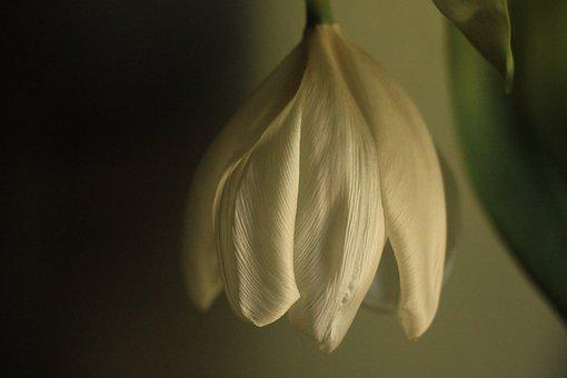 Tulip, Wilted, Dying, Wilting, Flower, Flora, White