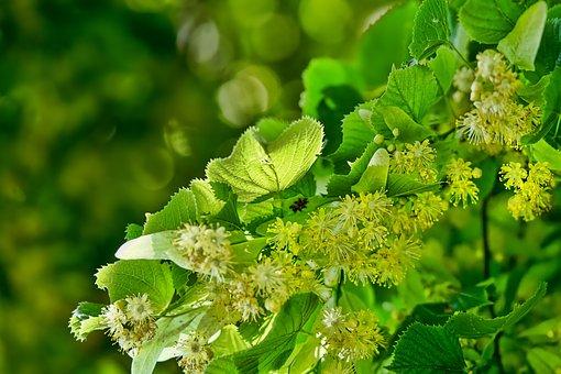 Nature, Blossom, Lime Blossom, Flowering Twig, Spring