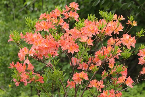 Rhododendron, Plant, Bloom, Flowers, Shrub, Nature