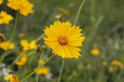 Yellow Flower, Flowers, Plants, Chrysanthemum, Yellow