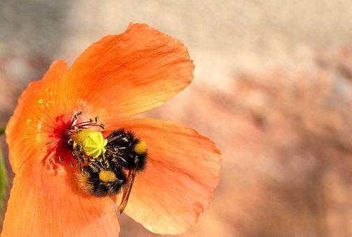 Poppy, Klatschmohn, Hummel, Garden Bumblebee