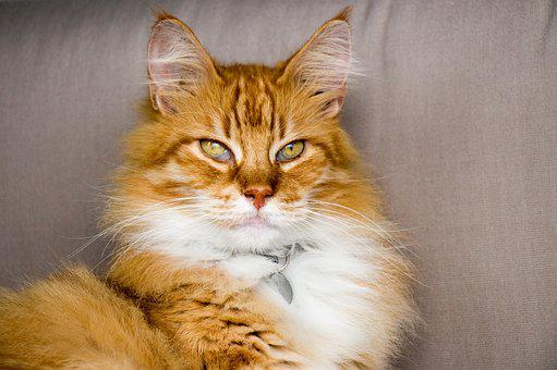 Cat, Red, Pet, Hangover, Sweet, Attention, Red Cat