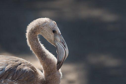 Young Flamingo, Bird, Flamingo, Portrait, Head, Eye