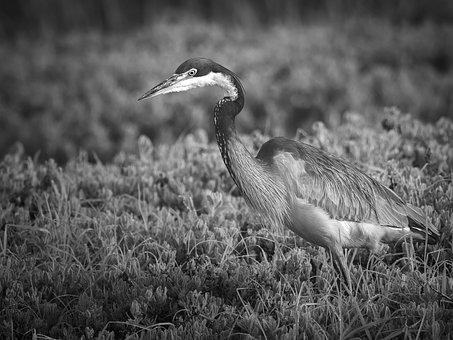 Black-headed Heron, Bird, Heron, Nature, Crane