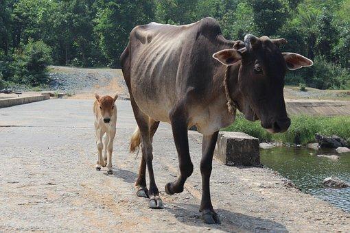 Cow, Calf, India, Jamshedpur, Rajdoha, Jadugoda, Animal