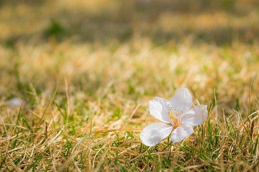 Cherry Blossoms, Sakura, Petal, Shiba, Lawn, Japan