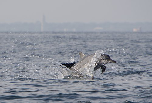Dolphins, Dolphin, Jump, Water, Nature, Sea, Merry