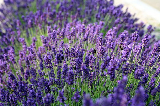 Lavender, Flower, Perfume, Nature, Violet, Rod, Forage