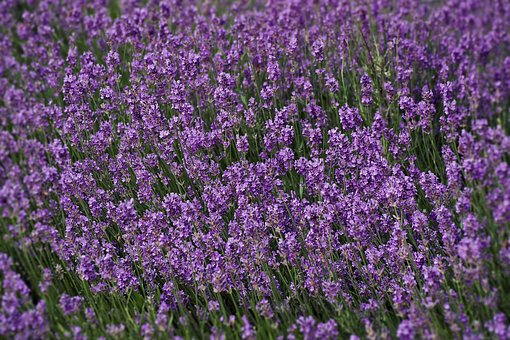 Lavender, Field, Nature, Plant, Garden, Provence