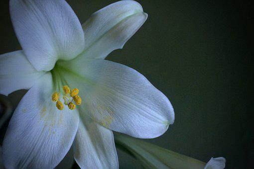 Lily, Easter, White, Bloom, Green, Flower, Spring