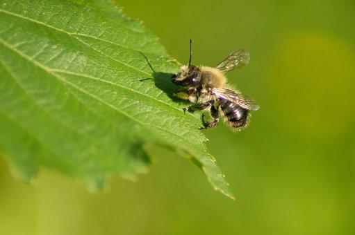 Unicorn Bee, Bee, Insect, Close, Macro, Nature