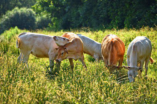 Cow, Animal, Mammal, Cattle, Domestic, Grazing, Playful