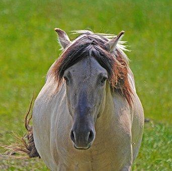 Konik, Wild Horse, Head, Frontal, Beige, Grey, Mane