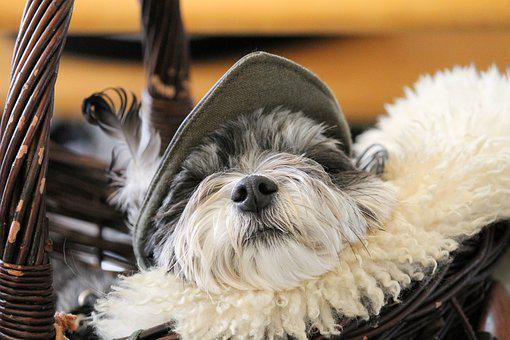Dog, Dog Snout, Fur, Basket, Sleep, Medieval, Cap