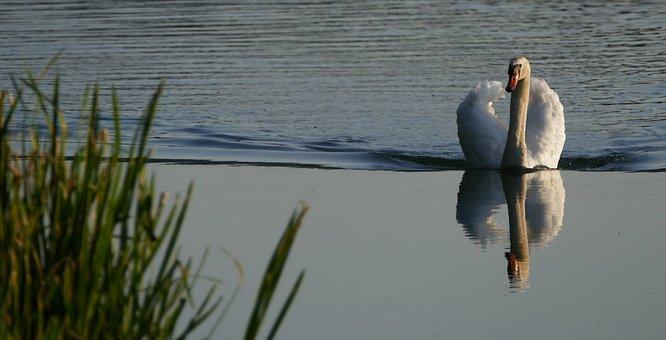 Nature, River, Reed, Swan, Morning Sun, Light