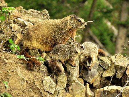 Marmots, Mother And Young, Rodent, Yellowstone, Hiking