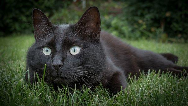 Cat, Animal, Black Cat, Pet, Domestic Cat, Nature