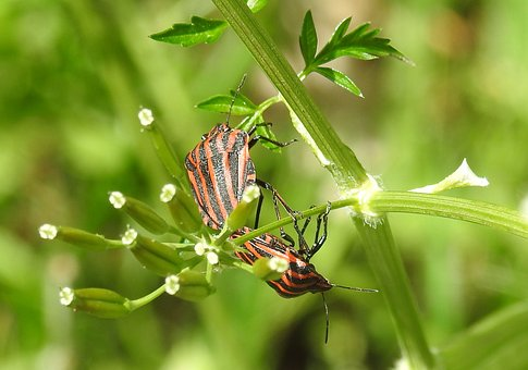 Insect, Nature, Bug, Animal, Pairing, Reproduction