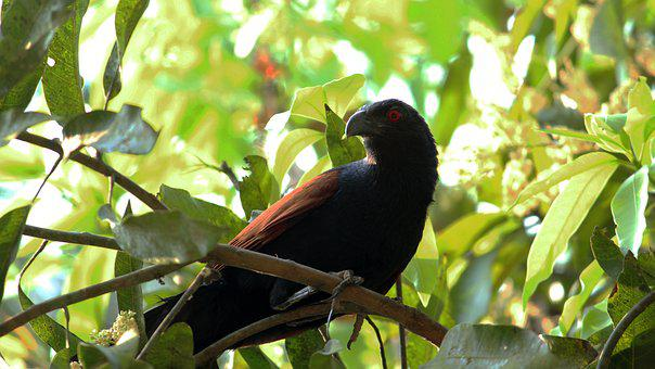 Cuckoo, Bird, Pheasant, Black, Nature, Wildlife, Wild