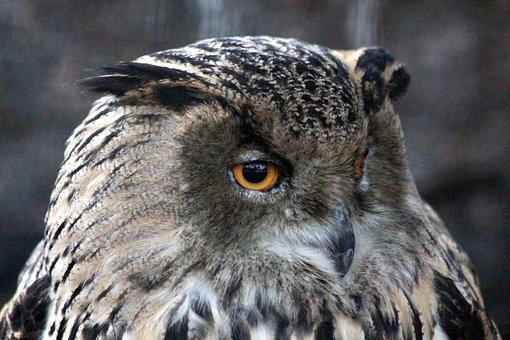 Owl, Western Siberian Eagle Owl