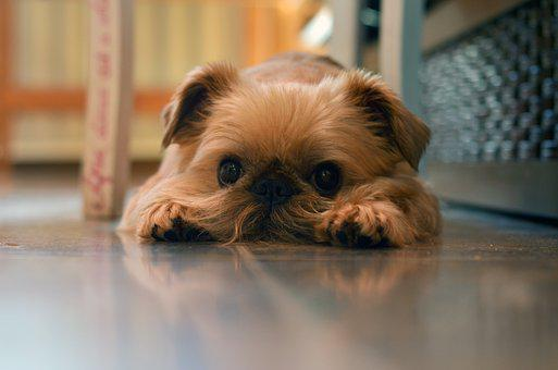 Griffon, Dog, Cute, Pet, Domestic, Animal, Canine