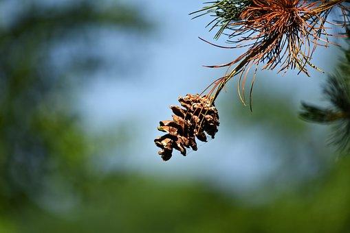 Pine Cone, Pine Tree, Pine, Fruit, Needle, Conifer