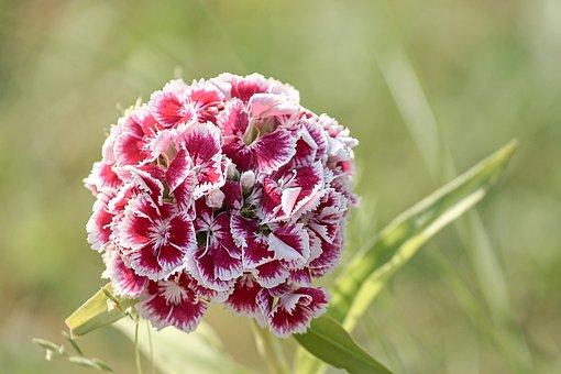 Sweet William, Dianthus Barbatus, Pink, Carnation